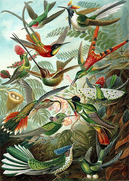 Разнообразие колибри
