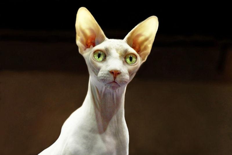 Клички сфинксом котов